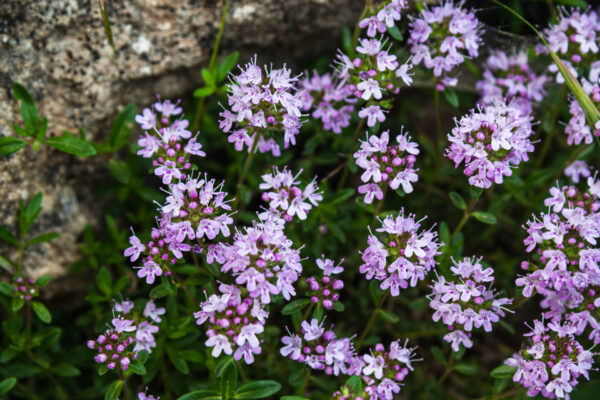 Wild Thyme cascading over the ground