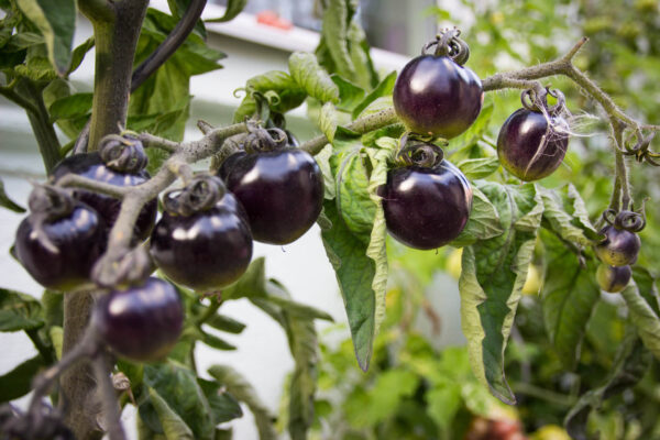 Black Cherry tomatoes on the vine