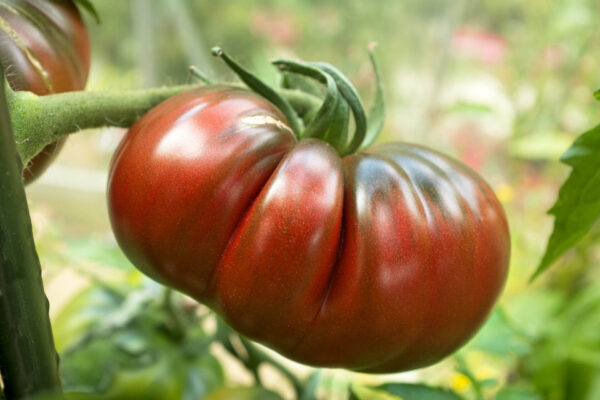 One large single Black Russian tomato hanging from a healthy vine