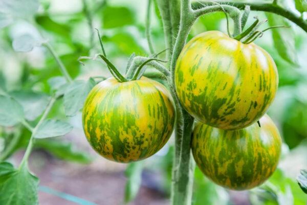 Green Zebra Tomatoes on the vine