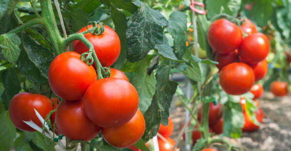 These Money Maker Tomatoes produces large red fruit on a climbing vine.