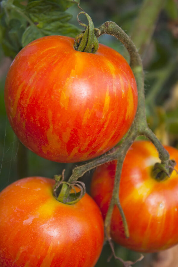 Striking red and yellow tigerella tomatoes hanging from its tomato vine