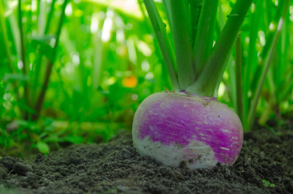 Purple Top White Globe turnip in the ground