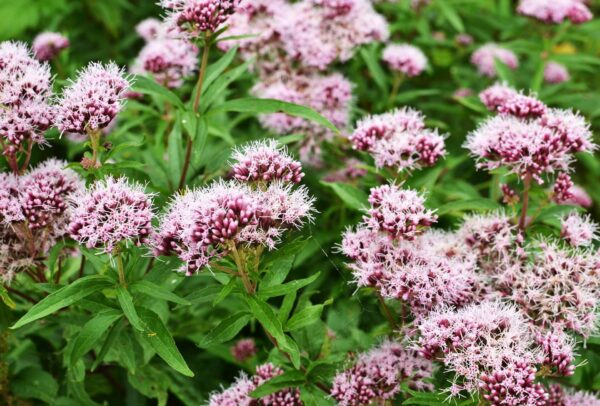 Valerian in the garden with the beautiful purple flowers