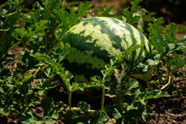 Bush Jubilee Watermelon in the garden