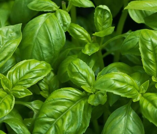 Close up of sweet italian basil herb leaf