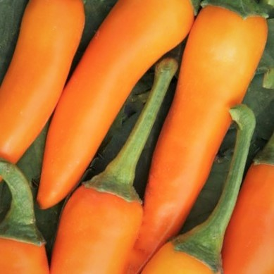 Bulgarian Carrot chillies piled together