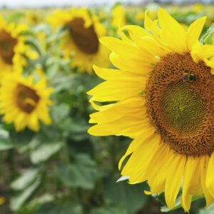 Giant Single Sunflower large yellow petals