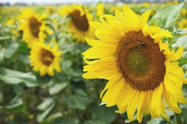 Giant Single Sunflower large yellow petals