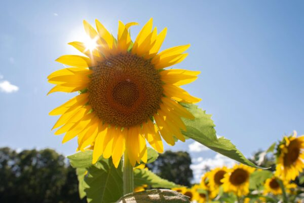 Sunflower with sun in background