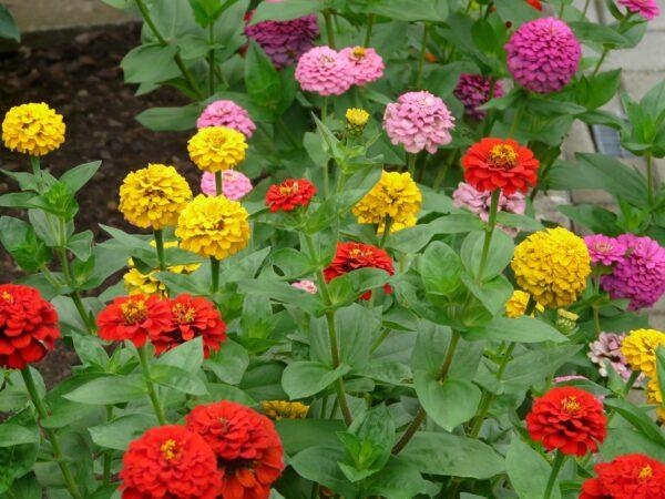 Multicoloured Zinnia flowers