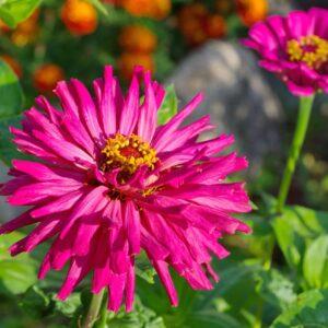 Burpeeeana Zinnia flower with spiky flower petals