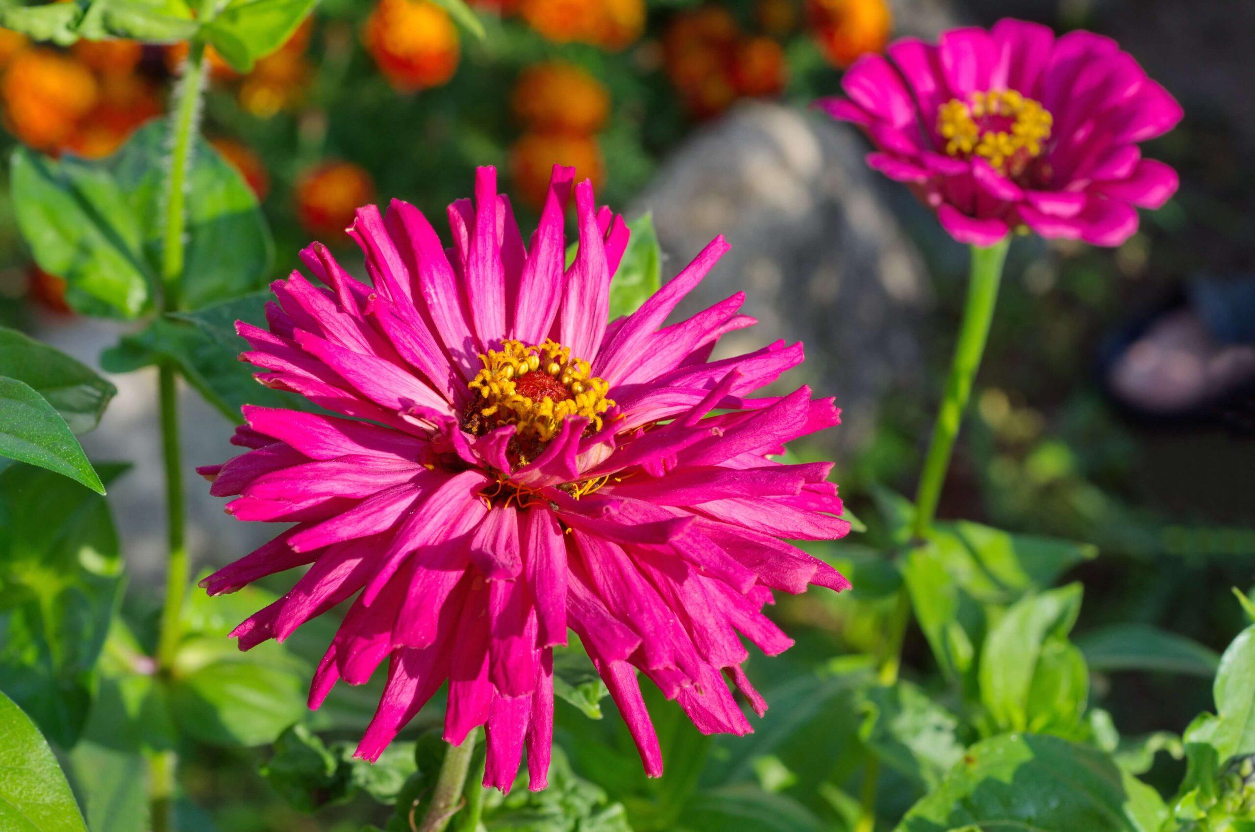 Burpeeana Zinnia flower with spiky flower petals