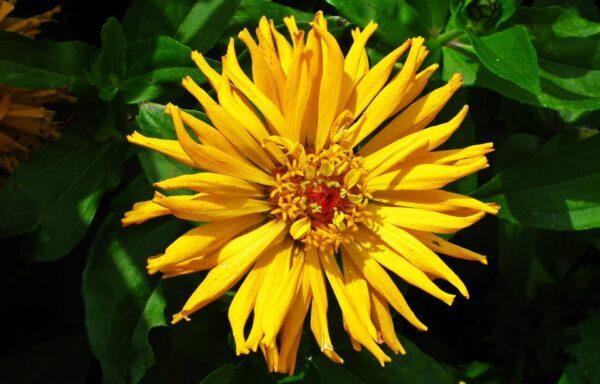 Yellow Zinnia Burpeeanna with spiky flower petals