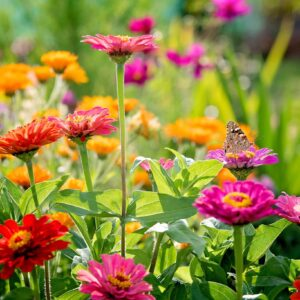 Zinnia Thumbelina in a mix of colours