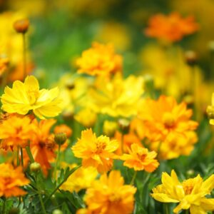Cosmos Carpet orange and yellow flowers