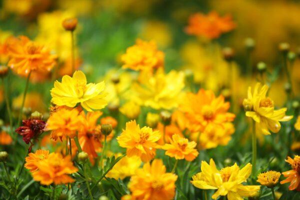 Cosmos Carpet orange and yellow flowers