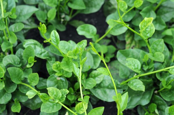 Malabar Green Spinach growing together