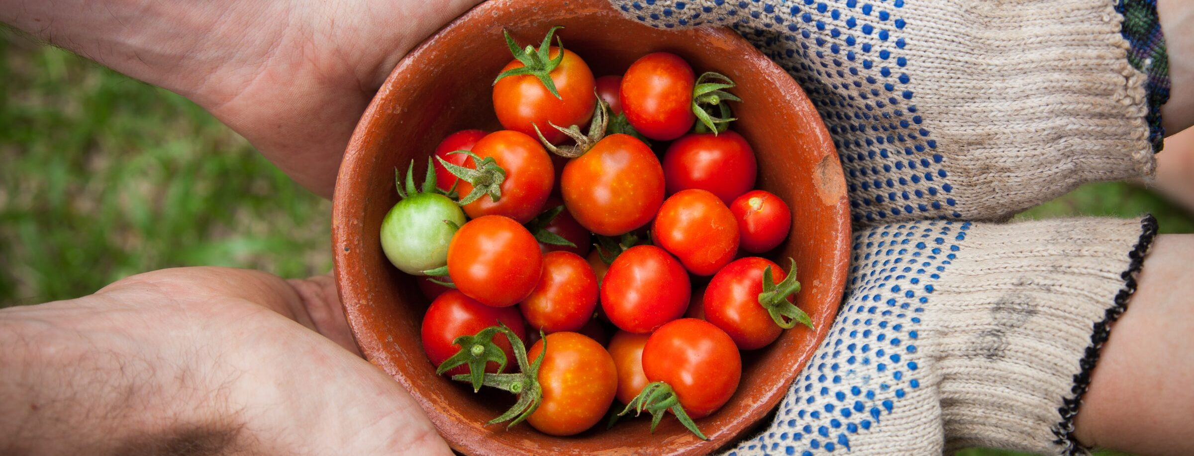 tomatoes in a bowl being held by community