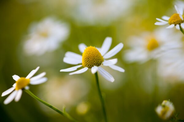 Close up of a chamomile flower