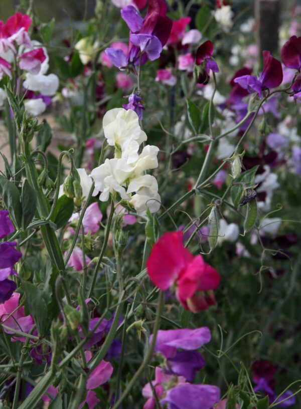 Climbing Sweet Peas in Pink white and purple