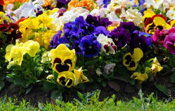 Swiss Giant Pansy in garden bed