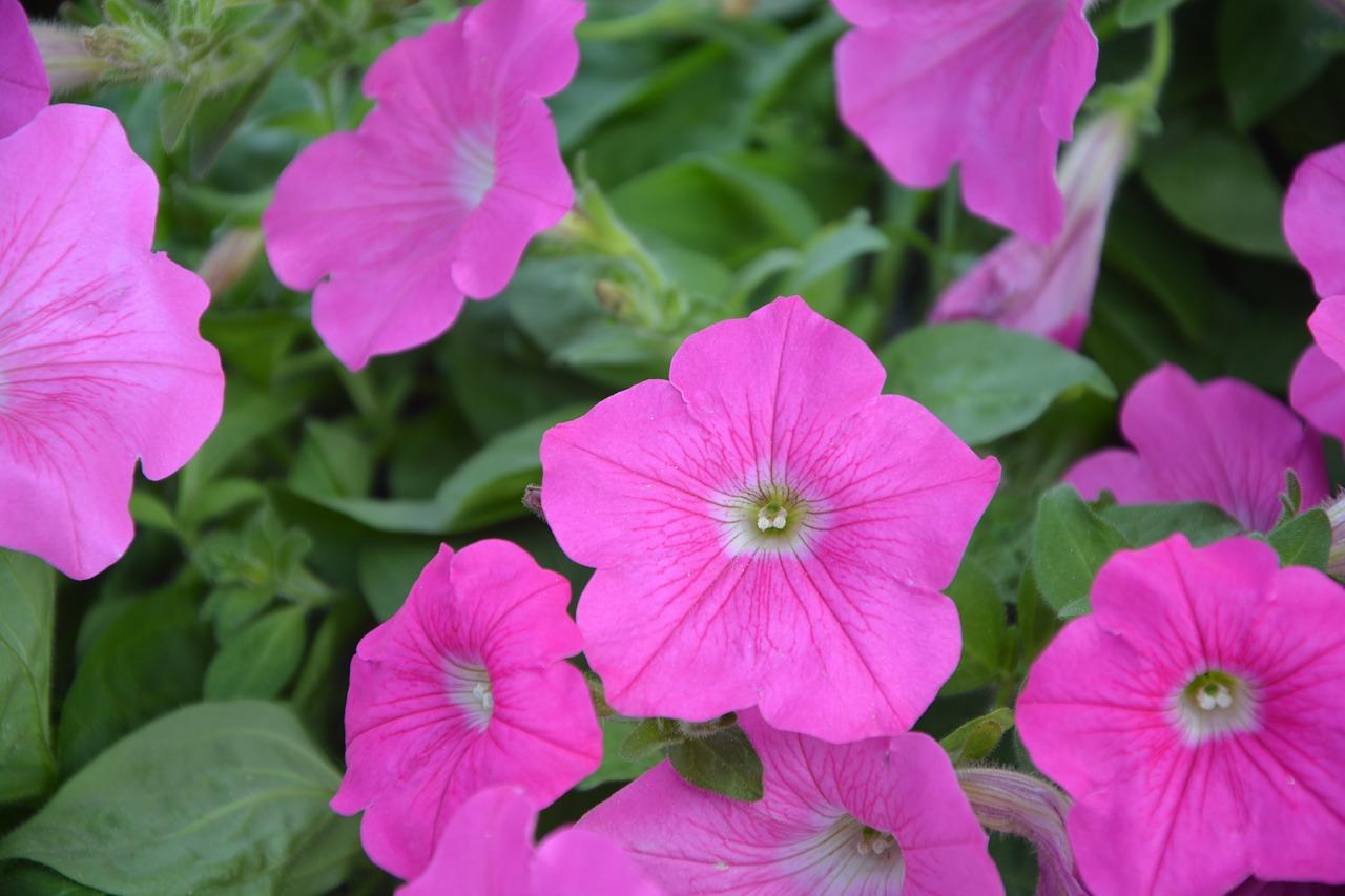 Rose of Heaven Petunia
